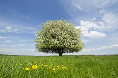 Solitary Pear Tree Pyrus communis in blossom on a meadow Thuringia Germany - stock photo