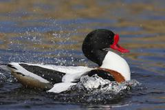 Common shelduck (tadorna tadorna) Stock Photos