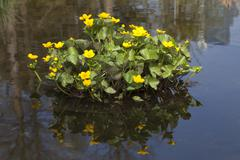 Kingcup or Marsh Marigold Caltha palustris Stock Photos
