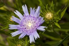 Kornblumenaster, stokesia laevis, asteraceae cornflower aster or stokes' aste Stock Photos