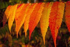Autumnally coloured sumac leaves Quebec Province Canada North America Stock Photos
