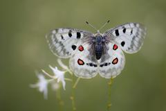 Apollo or mountain apollo (parnassius apollo) butterfly sitting on a grass li Stock Photos