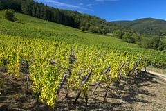 Grapevines with autumn leaves on a hillside Riquewihr Departement Bas Rhin Stock Photos