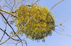 Parasitic plant, mistletoe (viscum album) on a willow (salix sp), riverine ve Stock Photos