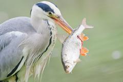 Grey Heron Ardea cinerea with prey fish North Hesse Hesse Germany Europe Stock Photos