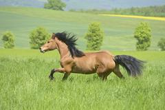 Haflinger pony mix mare 2 years galloping in the paddock Bavaria Germany Europe Stock Photos