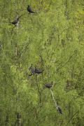 kormoran, phalacrocorax carbo, cormorant, - stock photo
