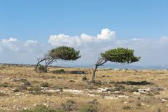 Wind blown trees growth anomalies two Carob Trees Ceratonia siliqua growing in - stock photo