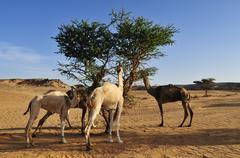 dromedaries feeding on an acacia tree, immidir or mouyidir, algeria, sahara,  - stock photo