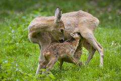 Stock Photo of Roe Deer Capreolus capreolus doe suckling two fawns Thuringia Germany Europe