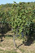 Vineyard Pinot Noir vines Westhalten Departement Bas Rhin Alsace France Europe Stock Photos