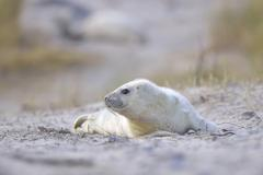 Stock Photo of Young Grey Seal Halichoerus grypus pup on the beach Dune island Helgoland