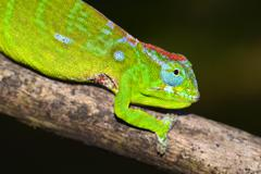 Petters Chameleon Furcifer petteri coloured to indicate pregnancy Amber Stock Photos