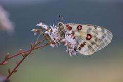 apollo or mountain apollo (parnassius apollo) butterfly sitting on a forage p - stock photo