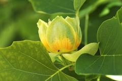 Tulip Tree Liriodendron tulipifera blossom Salzburg Salzburg State Austria Stock Photos
