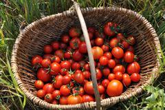 Ripe tomatoes Solanum lycopersicum in a basket Mecklenburg Western Pomerania Kuvituskuvat
