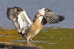 Young Egyptian Goose Alopochen aegyptiacus beating its wings North Hesse Hesse - stock photo
