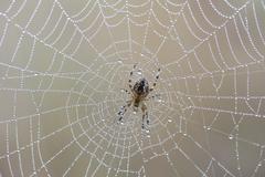 Garden Spider or Cross Orbweaver Araneus diadematus sitting on a net with Stock Photos