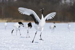 Red crowned Crane Japanese Crane or Manchurian Crane Grus Japonensis - stock photo