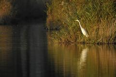Great Egret casmerodius albus Ardea alba standing at a pond Thuringia Germany Stock Photos