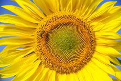 Inflorescence of a Sunflower Helianthus annuus with a Honey Bee Apis mellifera - stock photo