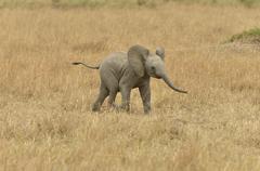 African Bush Elephant Loxodonta africana calf Massai Mara Rift Valley Province Stock Photos