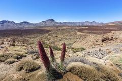 Red flowering Tower of Jewels or Tenerife Bugloss Echium wildpretii in the - stock photo