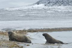 Stock Photo of Walruses Odobenus rosmarus Phippsoya Sjuoyane Svalbard Archipelago Svalbard