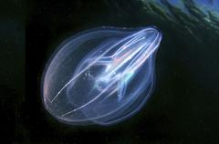 warty comb jelly or sea walnut (mnemiopsis leidyi) black sea, cr - stock photo
