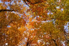Stock Photo of Maple trees Acer with bright autumn coloured leaves Sutton Eastern Townships