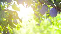 Plum orchard Stock Footage