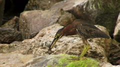 Green Heron in St Bart Caribbean Islands catching and eating fish Stock Footage
