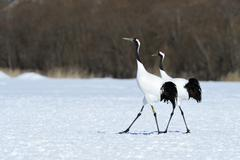 A pair of Red crowned Cranes Japanese Cranes or Manchurian Cranes Grus - stock photo