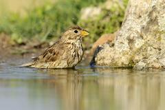 Corn Bunting Emberiza calandra washing itself Rhodopes Bulgaria Europe - stock photo