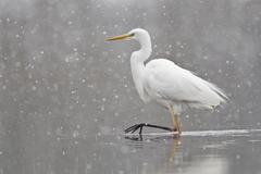 Stock Photo of Great Egret casmerodius albus Egretta alba walking during snowfall North Hesse