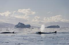 Pod of Antarctic Minke Whales Balaenoptera bonaerensis blowing in front of Stock Photos