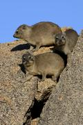 Rock Hyrax or Cape Hyrax Procavia capensis basking in the sun on a rock Erongo Stock Photos