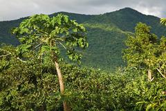 Montane rainforest Mahaut Arrondissement of Basse Terre Guadeloupe France - stock photo