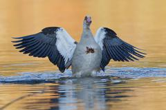 Stock Photo of Egyptian Goose Alopochen aegyptiacus in the water with spread wings North Hesse