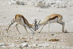 Fighting Springboks Antidorcas marsupialis Etosha National Park Namibia Africa Stock Photos