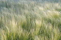 Stock Photo of Feather grass or spear grass Stipa sp Crimea Ukraine Europe