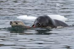 leopard seal attacking a young crabeater seal - stock photo