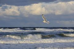 Baltic Sea waves and a Herring Gull Larus argentatus in flight Darss - stock photo