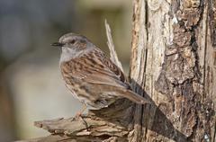 Dunnock also Hedge Accentor Hedge Sparrow or Hedge Warbler Prunella modularis Stock Photos
