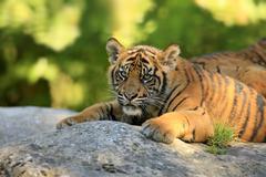 Sumatran Tiger Panthera tigris sumatrae young native to Asia captive Krefeld - stock photo