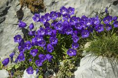 Bellflowers Campanula sp Saentis Urnasch Canton of Appenzell Ausserrhoden Kuvituskuvat