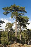 Mountain forest European Black Pines or Taurian Pines Pinus nigra ssp - stock photo