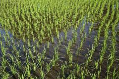 Rice paddy Langkawi Langkawi Sultanat Kedah Malaysia Asia - stock photo