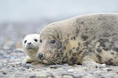 Stock Photo of Grey Seal Halichoerus grypus female with pup on the beach Dune island Helgoland