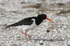 eurasian oystercatcher (haematopus ostralegus), old bird with a string attach - stock photo